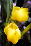 Yellow Tulips. A couple of beautiful yellow tulips, this photo was taken in Berggarten, Hannover, Germany Royalty Free Stock Photos