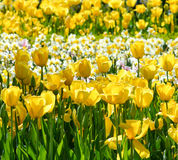 Yellow Tulips and Daffodils Floral Spring Background stock image