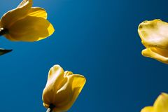 Yellow tulips directed to the blue sky.  Stock Image