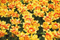 Yellow tulips Double Monsella illustration. Yellow and red tulips Double Monsella spring flowers gardening illustration Royalty Free Stock Images