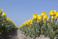 Yellow tulips in dutch flower field with blue sky from low angle Royalty Free Stock Photo