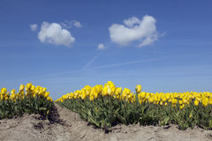 Yellow tulips in dutch flower field with blue sky from low angle Stock Photo