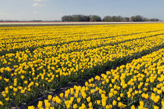 Yellow tulips in dutch flower field with blue sky Stock Photos