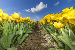 Yellow Tulips farm Stock Images