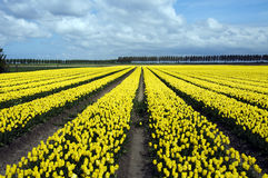 Yellow tulips in the field Royalty Free Stock Images