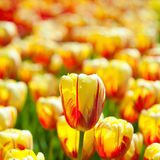 Yellow tulips field Royalty Free Stock Image