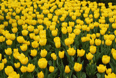 Yellow tulips field Royalty Free Stock Images
