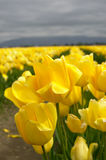 Yellow Tulips. A field of yellow tulips Royalty Free Stock Photography