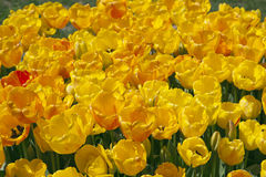 Yellow Tulips field Stock Image
