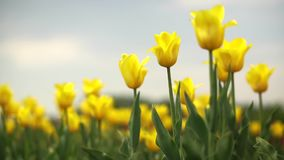 Yellow tulips in a field. Clip stock footage