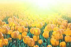 Yellow tulips in a field. stock photos