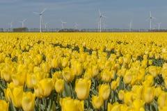 Yellow tulips field in the Noordoostpolder with windmills stock photo