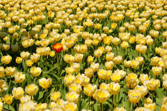 Yellow Tulips Field, One Red. A single red tulip in a large field of blooming yellow tulips Royalty Free Stock Photos