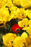 Yellow Tulips field. Yellow tulips with one red tulip Royalty Free Stock Photography