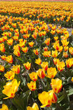 Yellow tulips field Stock Photos