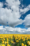Yellow tulips fields in Holland Royalty Free Stock Images
