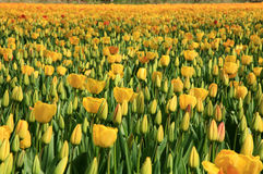 Yellow tulips - flower Royalty Free Stock Photography