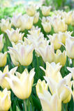 Yellow tulips in flower bed Stock Photo