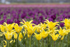 Yellow tulips in flower field with purple flowers in the backgro. Closeup of yellow tulips in flower field with purple flowers in the background Stock Photos