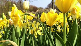 Yellow tulips in flower park. Video shot in the Park flowers stock video footage