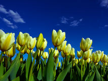 Yellow tulips on flowerbed Royalty Free Stock Photography