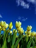 Yellow tulips on flowerbed Stock Image