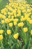 Yellow Tulips flowerbed in springtime Stock Photo