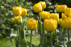 Yellow tulips. Flowering yellow tulips in a flowerbed Royalty Free Stock Image