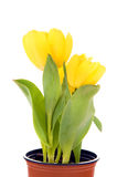 Yellow tulips in flowerpot Royalty Free Stock Photos