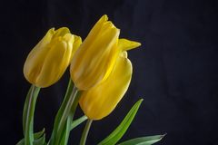 Yellow tulips flowers Royalty Free Stock Photo