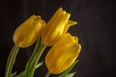 Yellow tulips flowers Stock Photo
