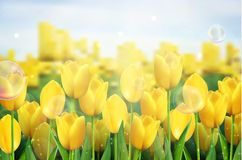 Yellow tulips flowers in the garden. Illustration of  Yellow tulips flowers in the garden Stock Photos