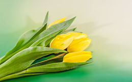 Yellow tulips flowers, green gradient background, close up Stock Images