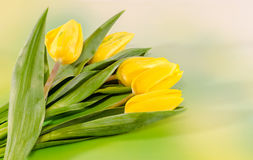 Yellow tulips flowers, green to yellow gradient background, close up.  Royalty Free Stock Photo