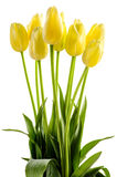Yellow tulips flowers with long stalk Royalty Free Stock Photos