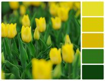 Yellow tulips flowers with palette color swatches Stock Photography