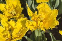 Yellow tulips flowers Stock Photos
