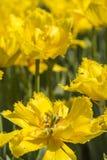 Yellow tulips flowers Stock Image