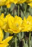 Yellow tulips flowers Royalty Free Stock Photo