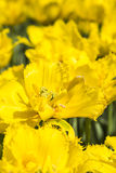 Yellow tulips flowers Royalty Free Stock Image
