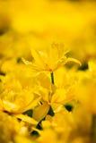 Yellow Tulips Flowers In Spring Garden Flower Bed Stock Image