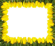 Yellow tulips frame. A frame of bright yellow tulips on white background Stock Photography