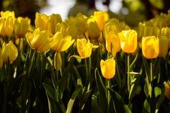 Yellow tulips in the garden stock photo