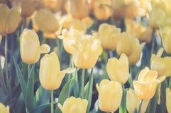Yellow tulips in the garden stock photos