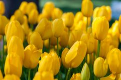 Yellow tulips in garden on  bokeh background. Outdoor, spring Stock Image