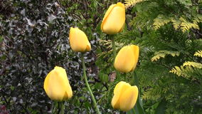Yellow tulips in the garden stock video footage