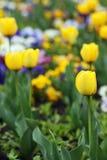 Yellow tulips garden nature spring Stock Photo