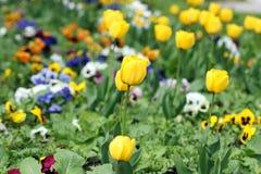 Yellow tulips garden spring Stock Photos