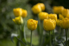 Yellow Tulips. On green background Royalty Free Stock Photos