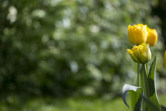 Yellow Tulips. On green background Royalty Free Stock Photo